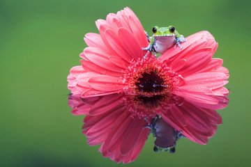 Peacock Tree frog on a Pink gerbera plant in a reflection pool