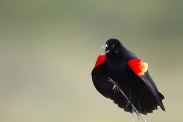 Red-winged Blackbird male in full-throated cry