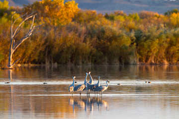Sandhill Cranes in autumn, Bosque del Apache National Wildlife Refuge in New Mexico