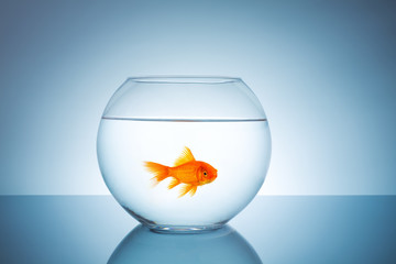 angry goldfish in a fishbowl