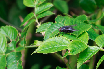 Black Fly Standing on a Green Leaf