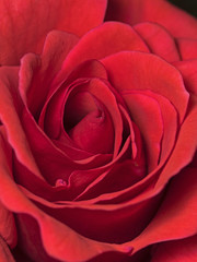 Red rose blossom, Rote Rosenblüte