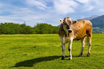 mucca in posa al pascolo