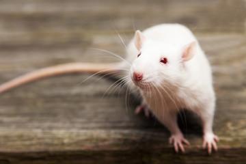 Fotoväggar - Pet rat