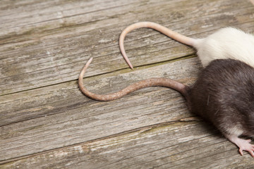 Fotoväggar - Tails of rats on a wooden table