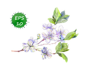 Blooming white cherry flowers (japanese sakura). Watercolour vector