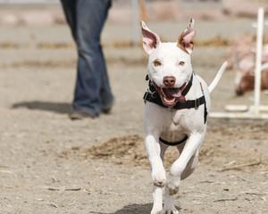 White pitbull mixed breed dog running through the agility park