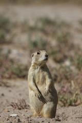 White-tailed Prairie Dog sentinel stands alert for predators in northwestern Colorado