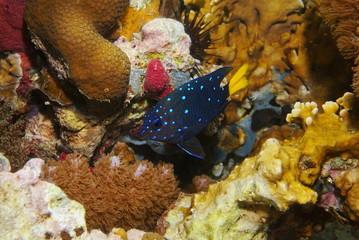 Fish Yellowtail damselfish Microspathodon chrysurus