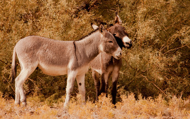Wild Mules, Death Valley