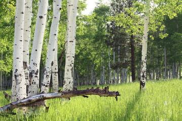 White Aspen Trees in grassy field