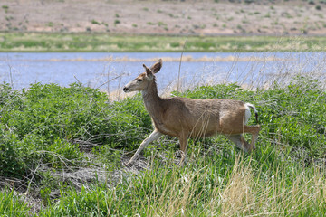 A single female deer traveling along the vegetation in the desert wetlands.