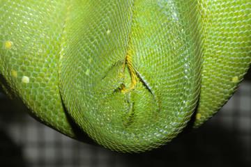 green tree python skin