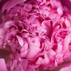pink peony macro photo