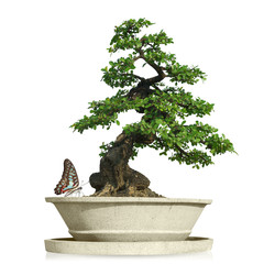 Papiers peints Bonsai bonsai tree with Butterfly isolated