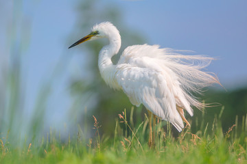 Great egret stands in the grass
