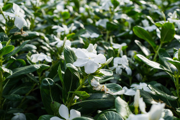 White periwinkle in garden