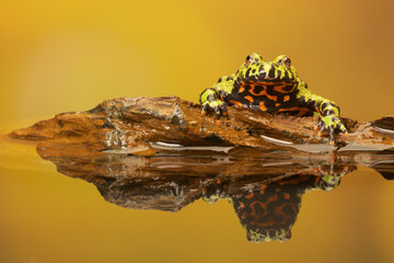 Fire Belly Toad reflection