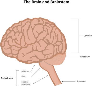 The Brain and Brainstem