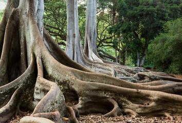 Moreton Bay Fig tree roots