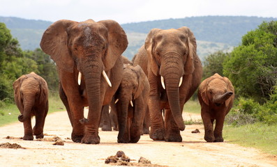A herd of elephants with baby calves approaches us. Took the shot at a low angle to enhance the portrait. Taken in Addo elephant national park,eastern cape,south africa