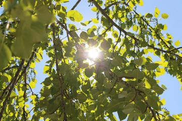 Солнце между листьев дерева