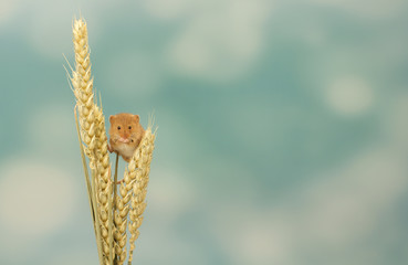Little harvest mouse on wheat