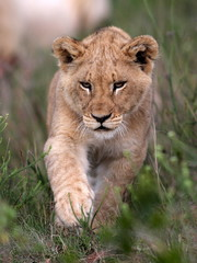 A young lion cub on the move.