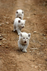 Three very young baby white lion walks towards the camera.