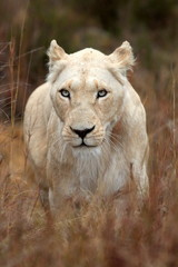 A white lioness looking intensely with her blue eyes in this beautiful close up photo of her face. This was taken on safari in the Eastern Cape,South Africa