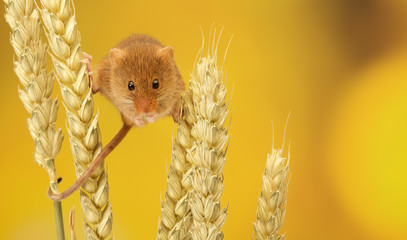 A little harvest mouse climbing on some wheat