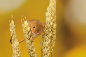 A little harvest mouse on some wheat