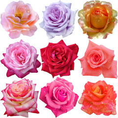 The rose blooms on white background