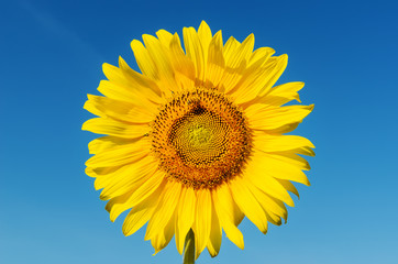 golden head of sunflower with bee and deep blue sky