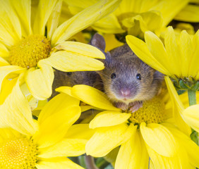 Common house mouse (Mus musculus) in flowers yellow chrysanthemu