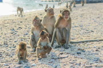 Monkey's family on the shore.