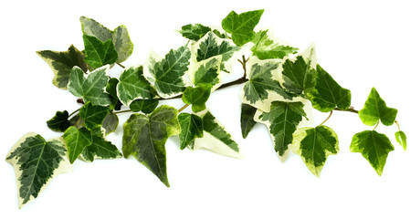 Ivy Design Element isolated on white.