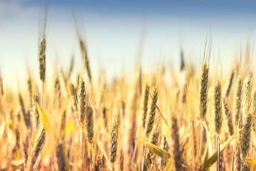 Fototapeta Grain field in bright summer day.