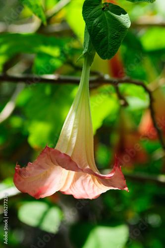 Fiori A Campanella.Fiore Campanella Rosa Foglie Sfondo Cielo Azzurro Stock Photo And