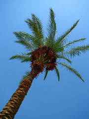 Date palm with ripe fruits under the blue sky