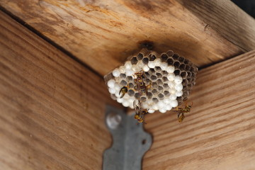 A close up view of a hornet's nest with yellow jackets and larva.