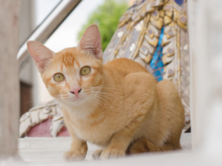 cat looking in Thailand temple