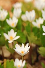 Spring wildflowers - white anemones