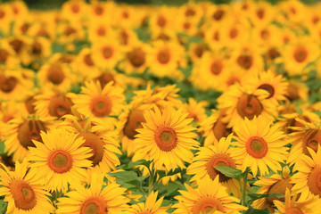 Sunflower field in Ontario, Canada