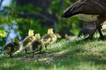 Newborn Goslings Following After Mom