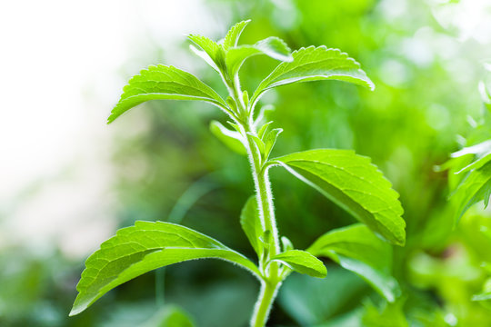 Stevia Plant, alternative to sugar, natural sweetener.