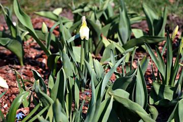 Narcissus flowers in garden