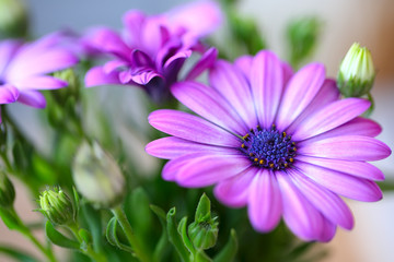 beautiful purple daisies