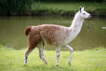 llamas graze on the river side rural scene