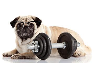 Pug Dog. Dog with glasses